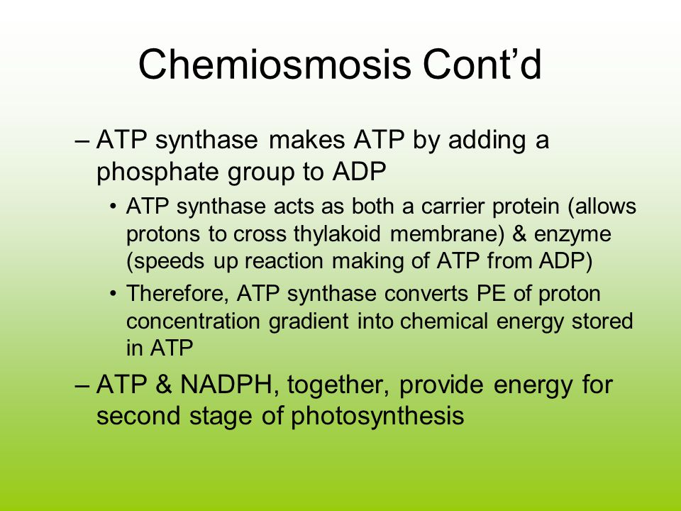 Chemiosmosis Cont'd ATP synthase makes ATP by adding a phosphate group to ADP.