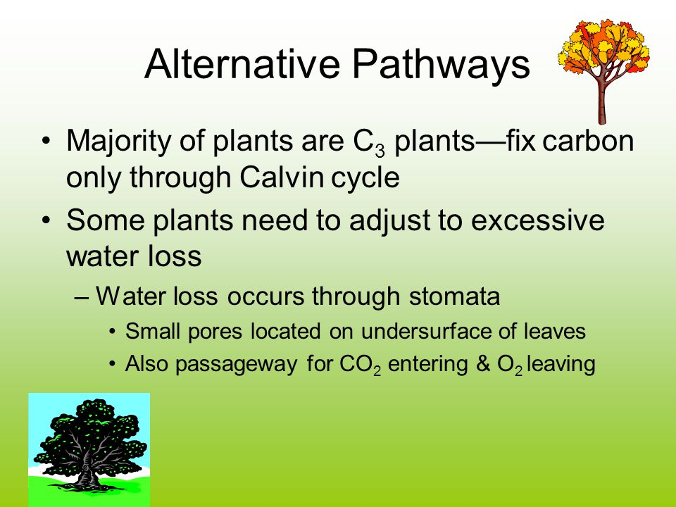 Alternative Pathways Majority of plants are C3 plants—fix carbon only through Calvin cycle. Some plants need to adjust to excessive water loss.
