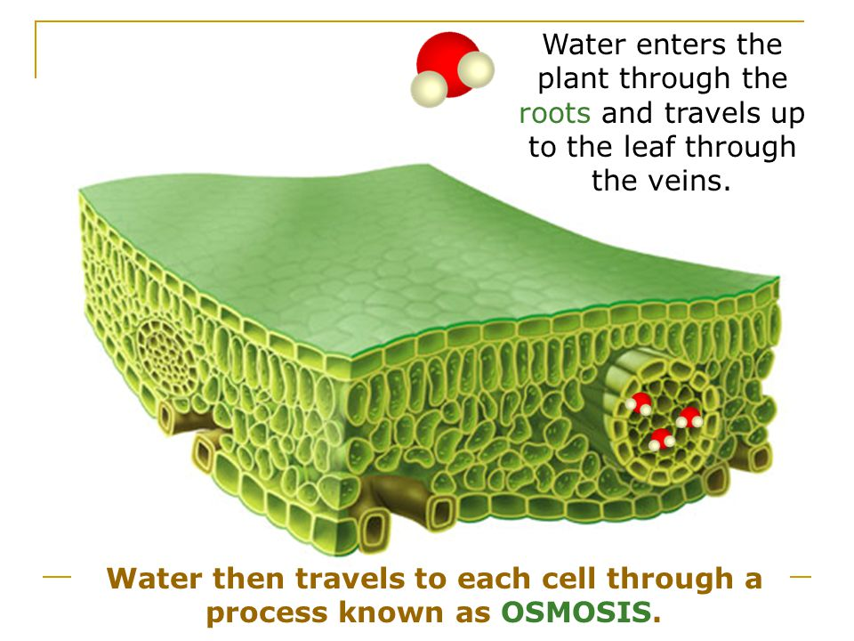 Water then travels to each cell through a process known as OSMOSIS.