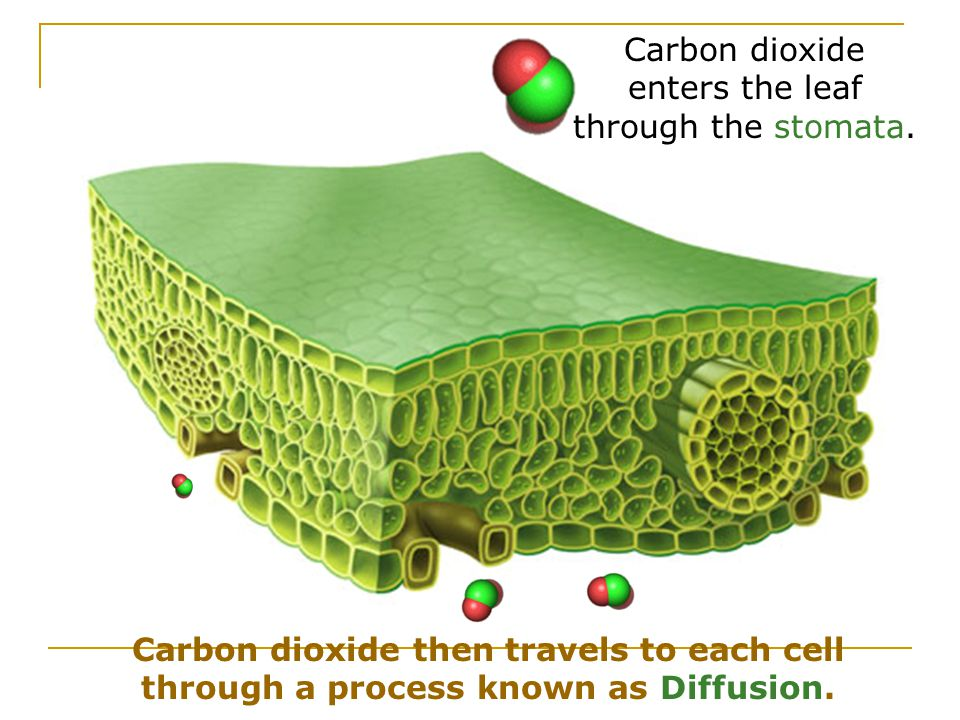Carbon dioxide enters the leaf through the stomata.