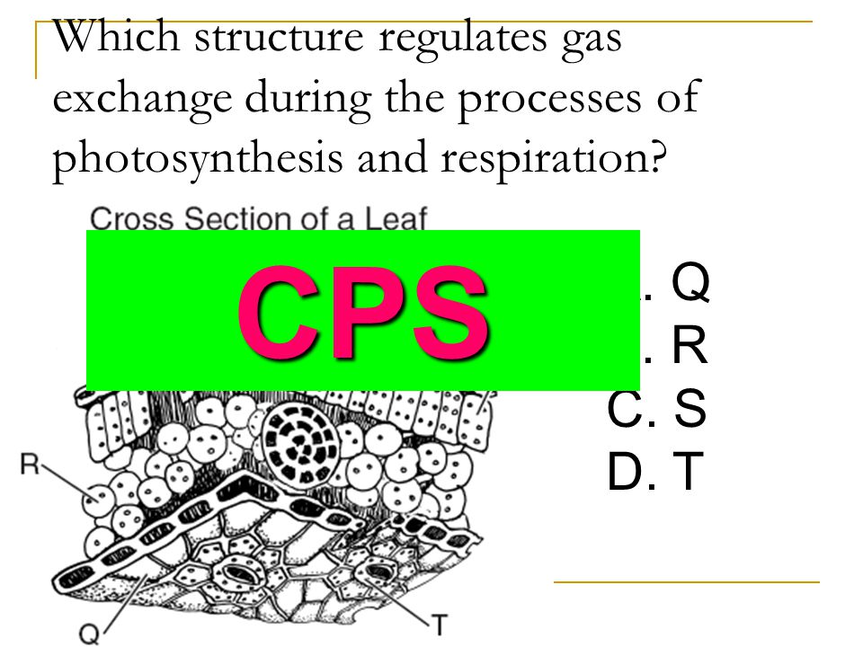 Which structure regulates gas exchange during the processes of photosynthesis and respiration
