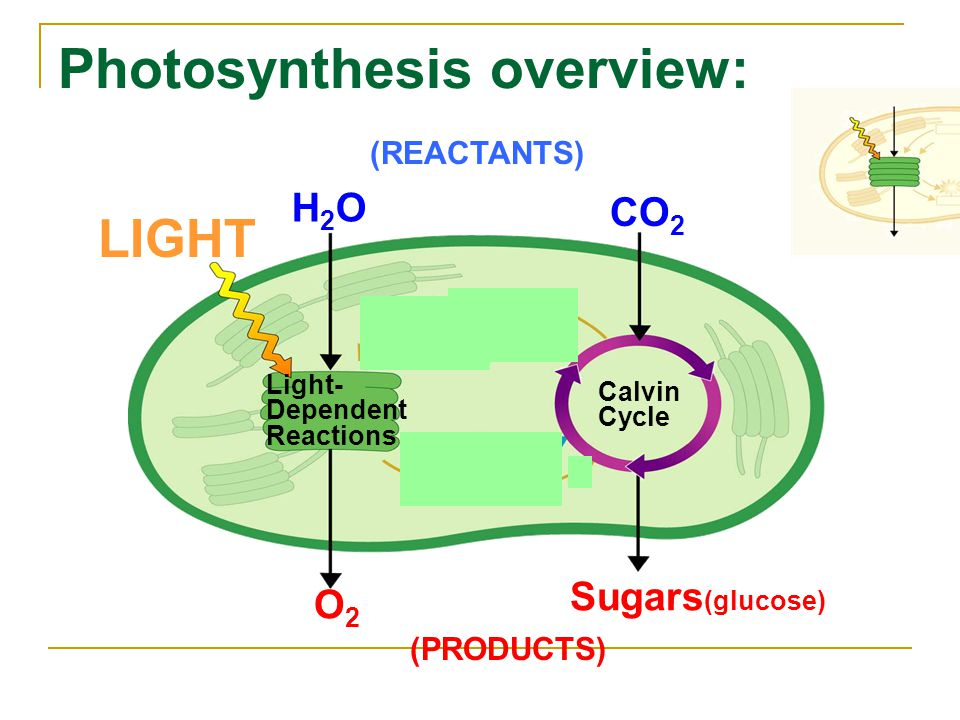 Photosynthesis overview: