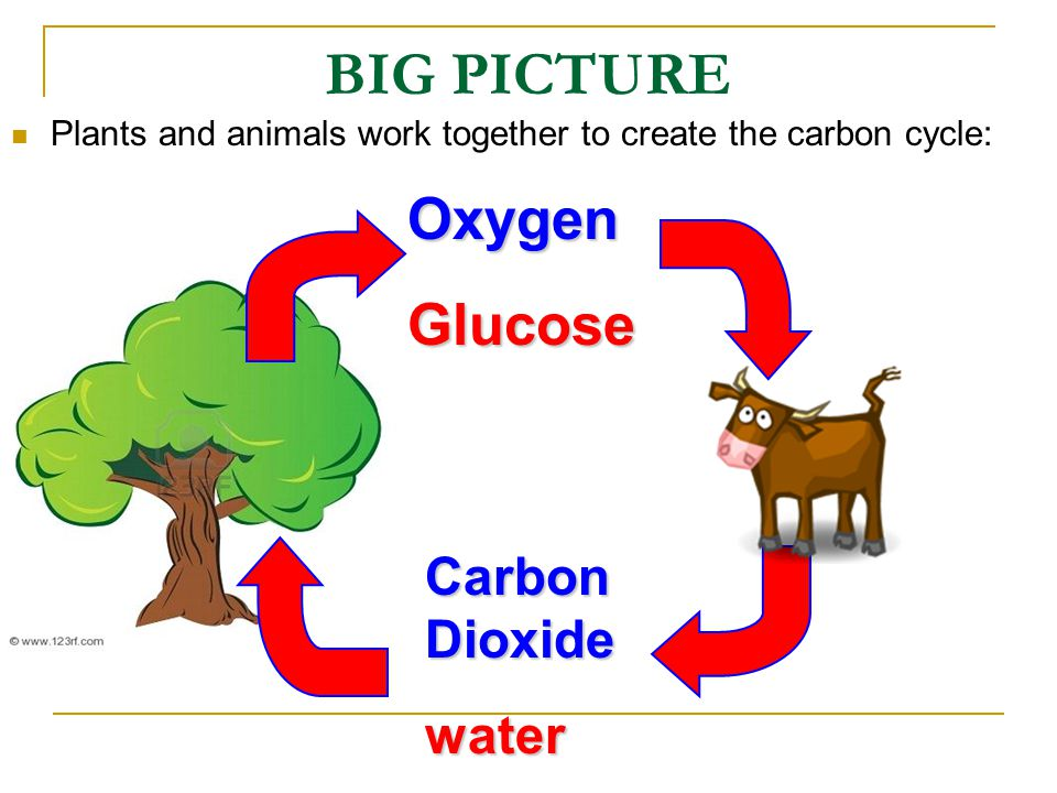 BIG PICTURE Oxygen Glucose Carbon Dioxide water