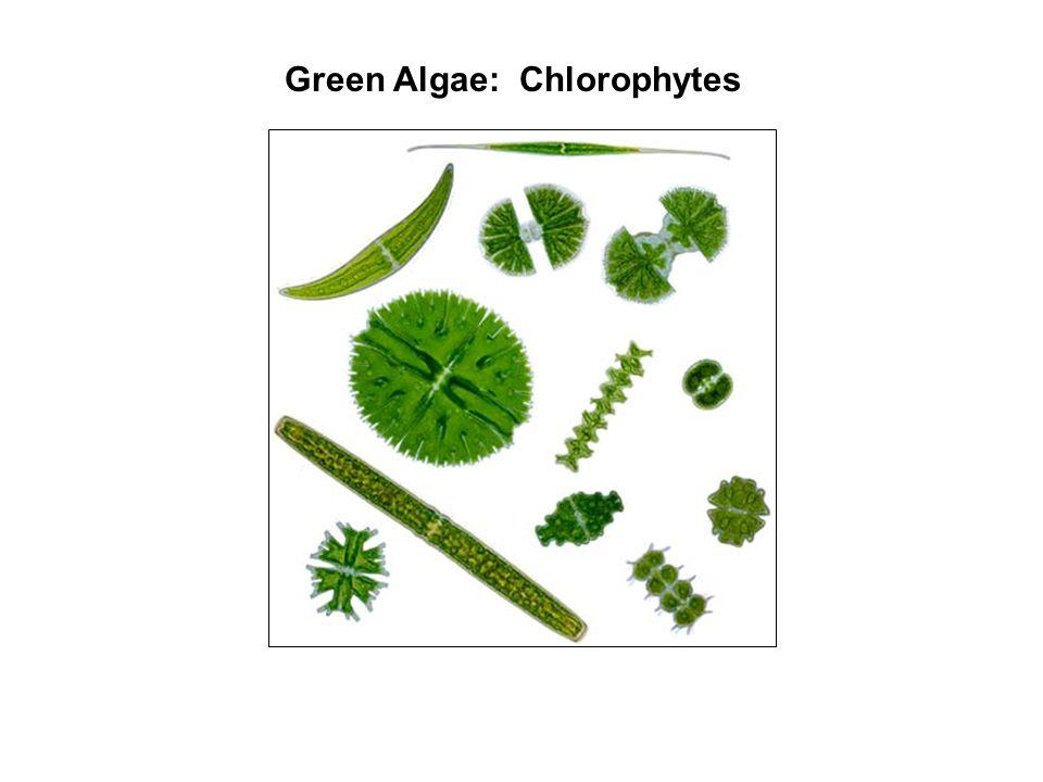 Green Algae: Chlorophytes