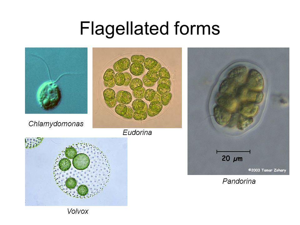 Flagellated forms Chlamydomonas Eudorina Pandorina Volvox