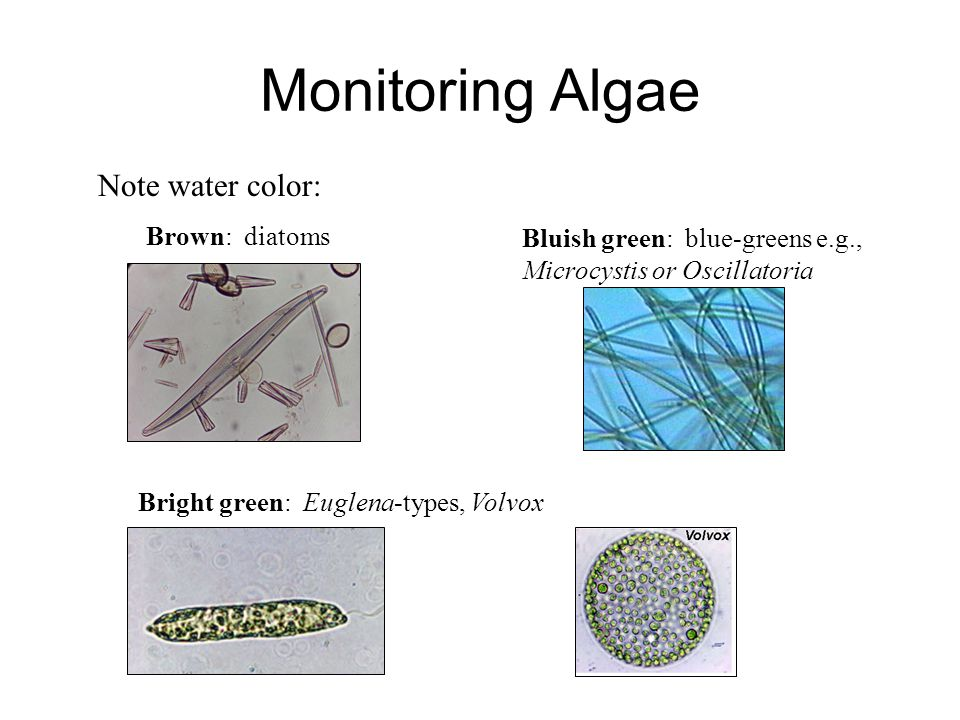 Monitoring Algae Note water color: Brown: diatoms