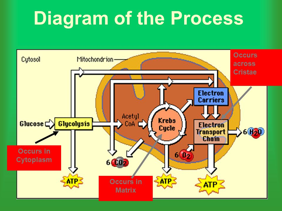 Diagram of the Process Occurs across Cristae Occurs in Cytoplasm
