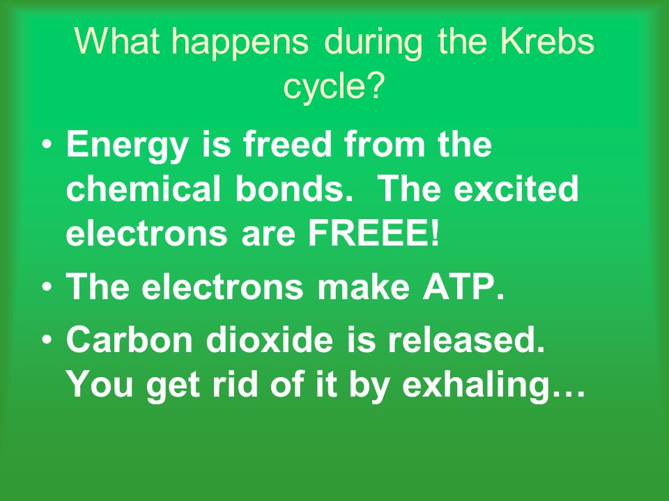 What happens during the Krebs cycle