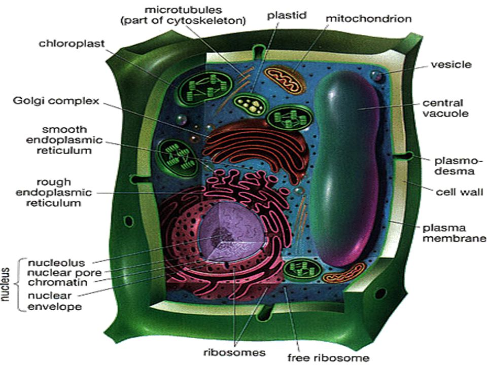 Here is a diagram of a plant cell. Can you find the chloroplasts