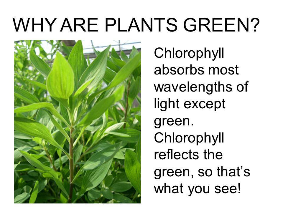 WHY ARE PLANTS GREEN. Chlorophyll absorbs most wavelengths of light except green.