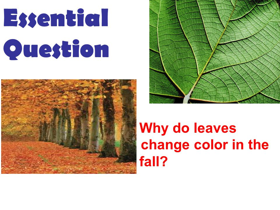 Essential Question 2.WHY DO LEAVES Why do leaves chang change color in the f fall