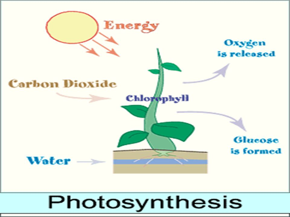 This diagram shows how the energy from the sun goes into the plant