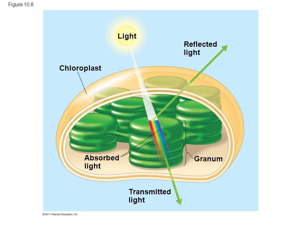 Light Reflected light Chloroplast Absorbed light Granum