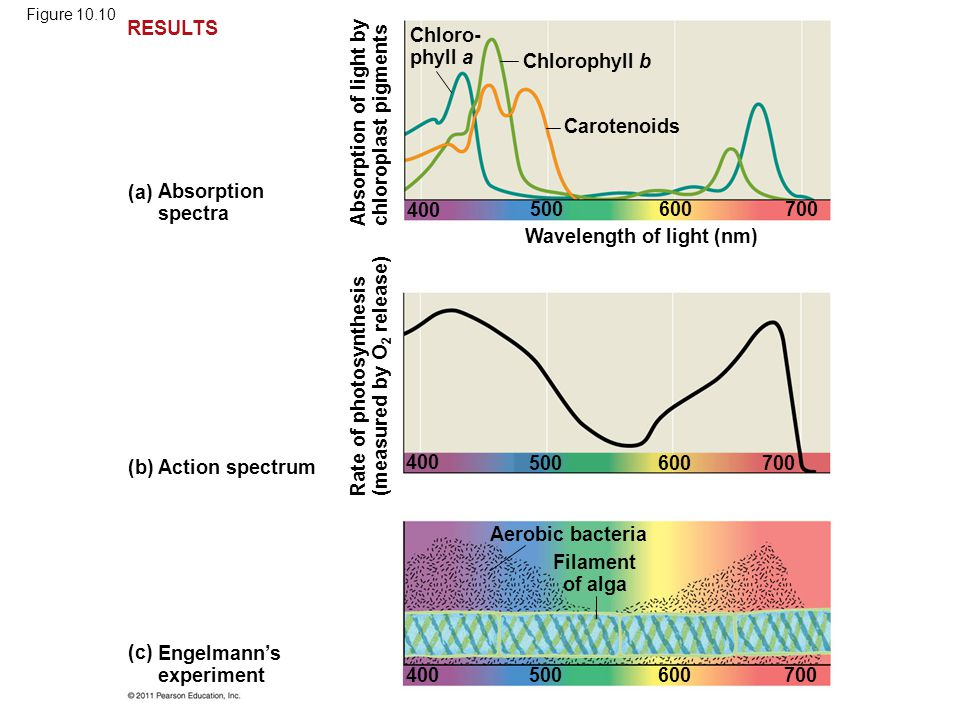 Absorption of light by chloroplast pigments