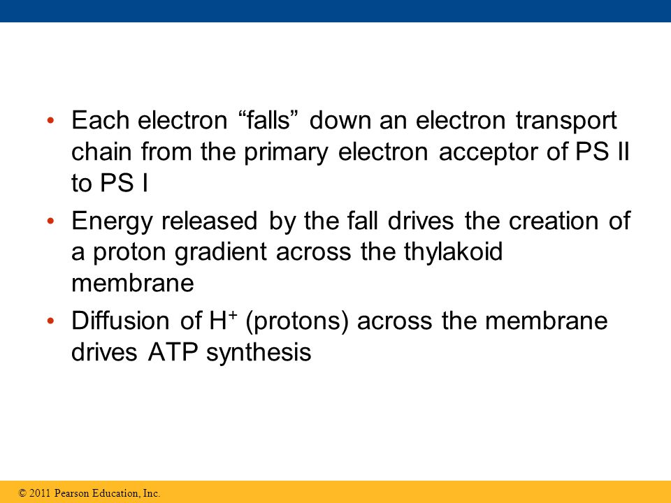 Diffusion of H+ (protons) across the membrane drives ATP synthesis