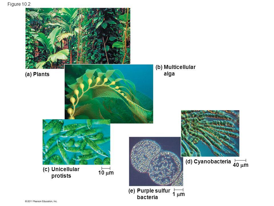 Purple sulfur bacteria 1 m