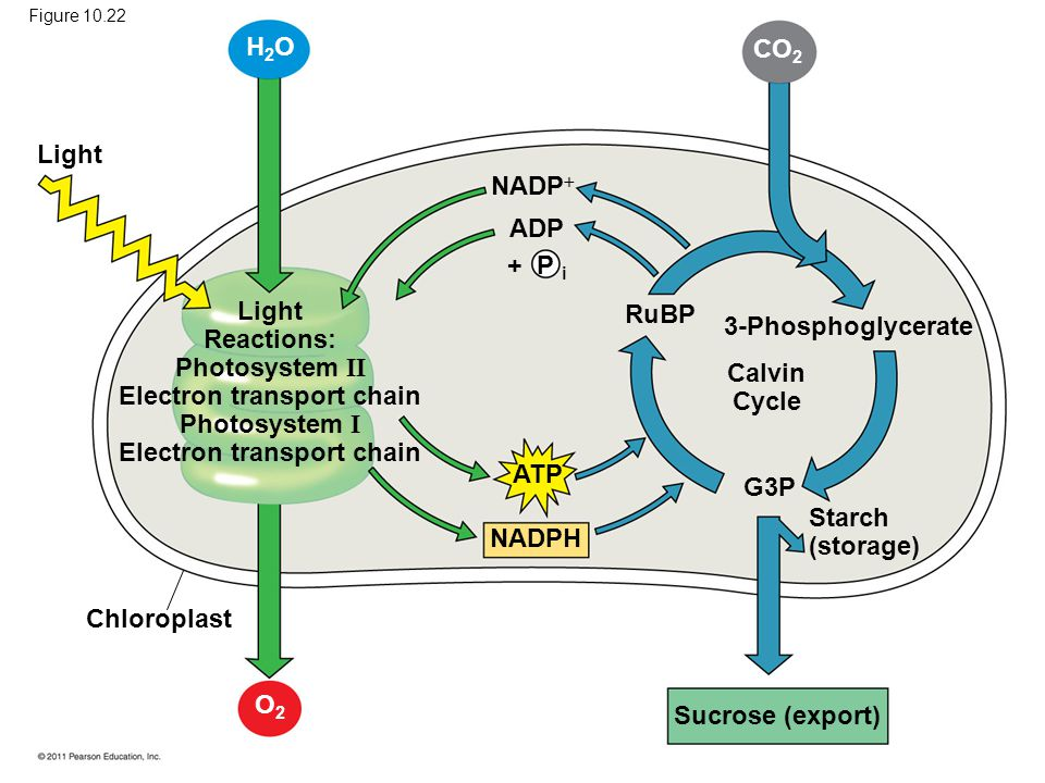H2O CO2 Light NADP ADP + P i Light Reactions: RuBP 3-Phosphoglycerate