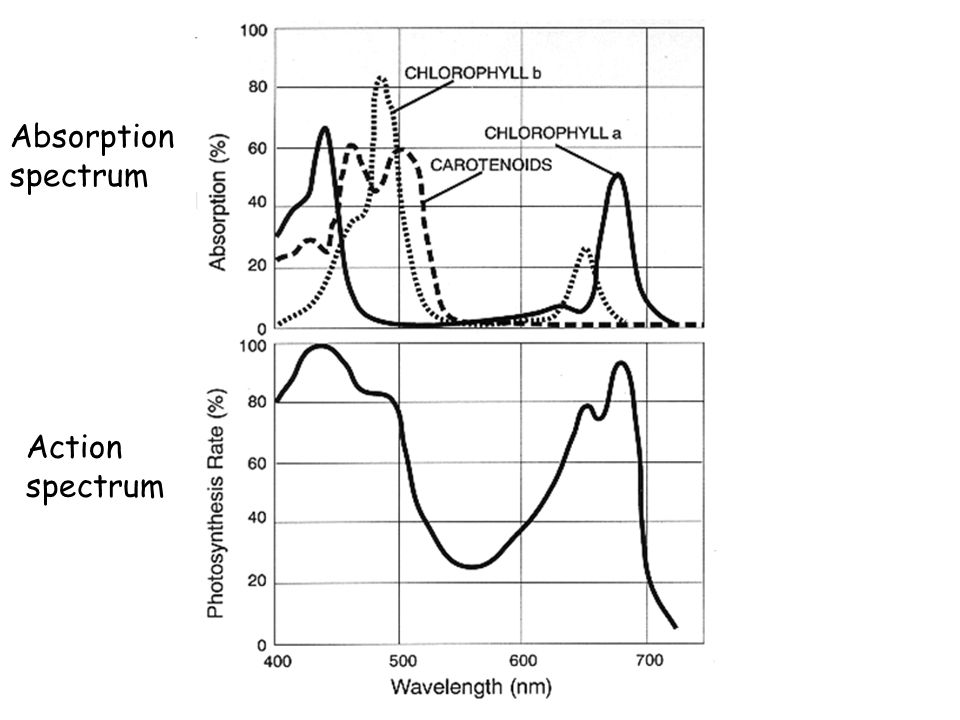 Absorption spectrum Action spectrum