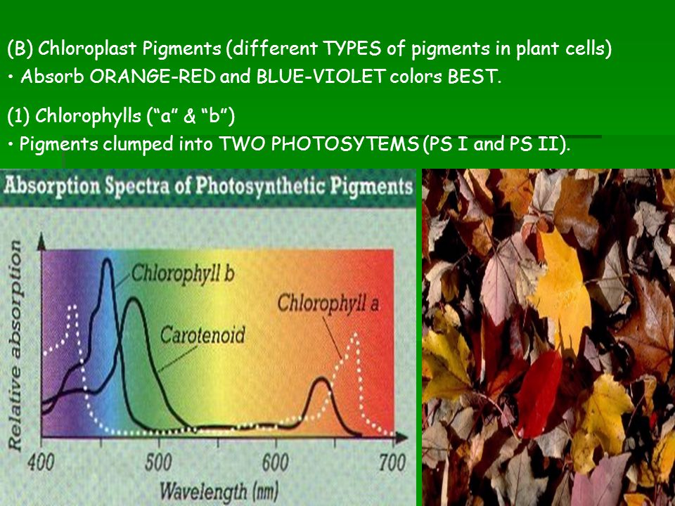 (B) Chloroplast Pigments (different TYPES of pigments in plant cells)