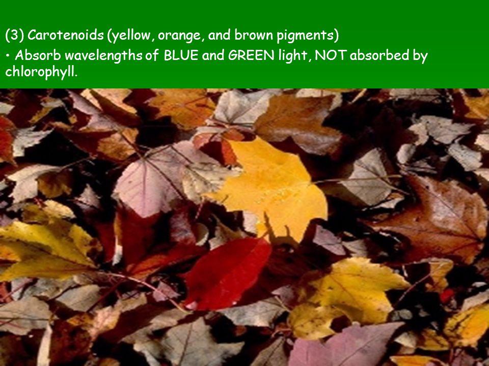 (3) Carotenoids (yellow, orange, and brown pigments)