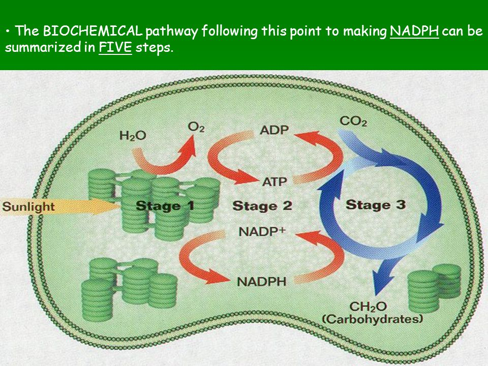 The BIOCHEMICAL pathway following this point to making NADPH can be summarized in FIVE steps.