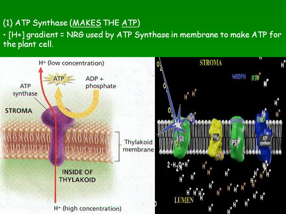 (1) ATP Synthase (MAKES THE ATP)