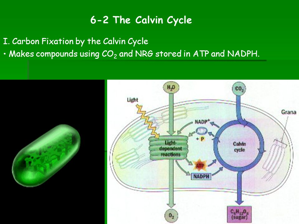 6-2 The Calvin Cycle I. Carbon Fixation by the Calvin Cycle