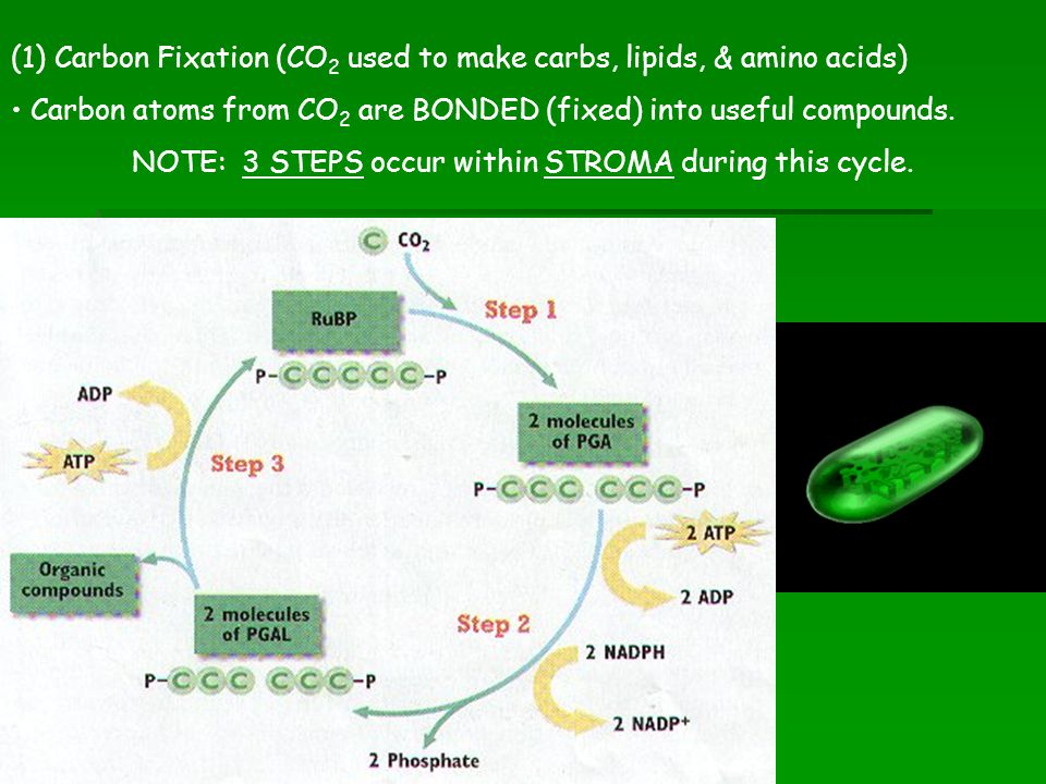NOTE: 3 STEPS occur within STROMA during this cycle.