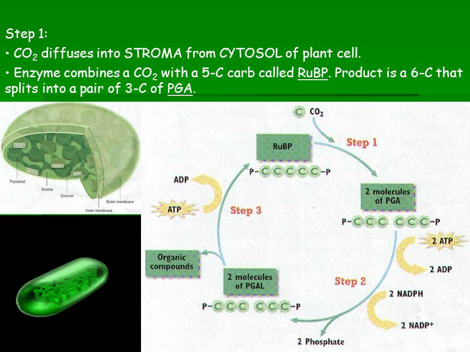 Step 1: CO2 diffuses into STROMA from CYTOSOL of plant cell.