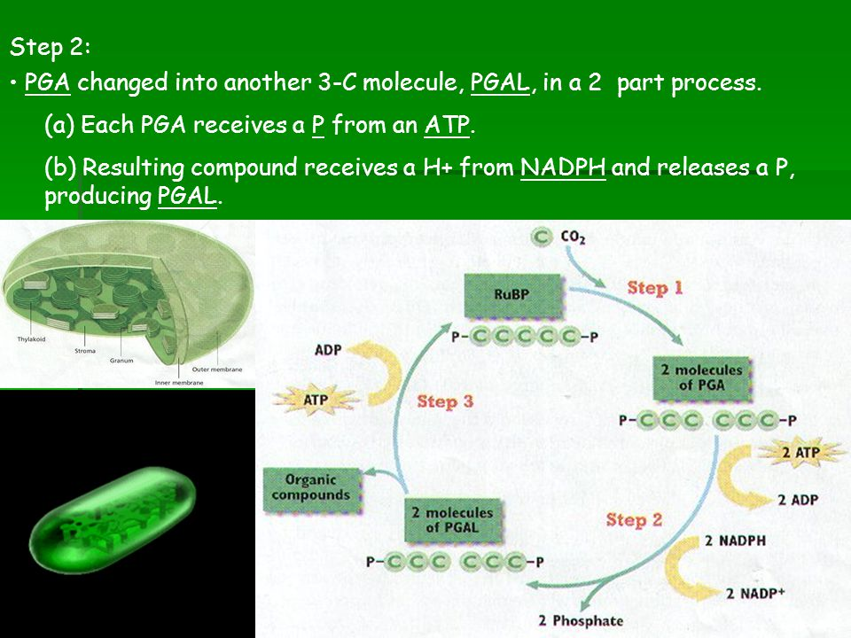 Step 2: PGA changed into another 3-C molecule, PGAL, in a 2 part process. (a) Each PGA receives a P from an ATP.