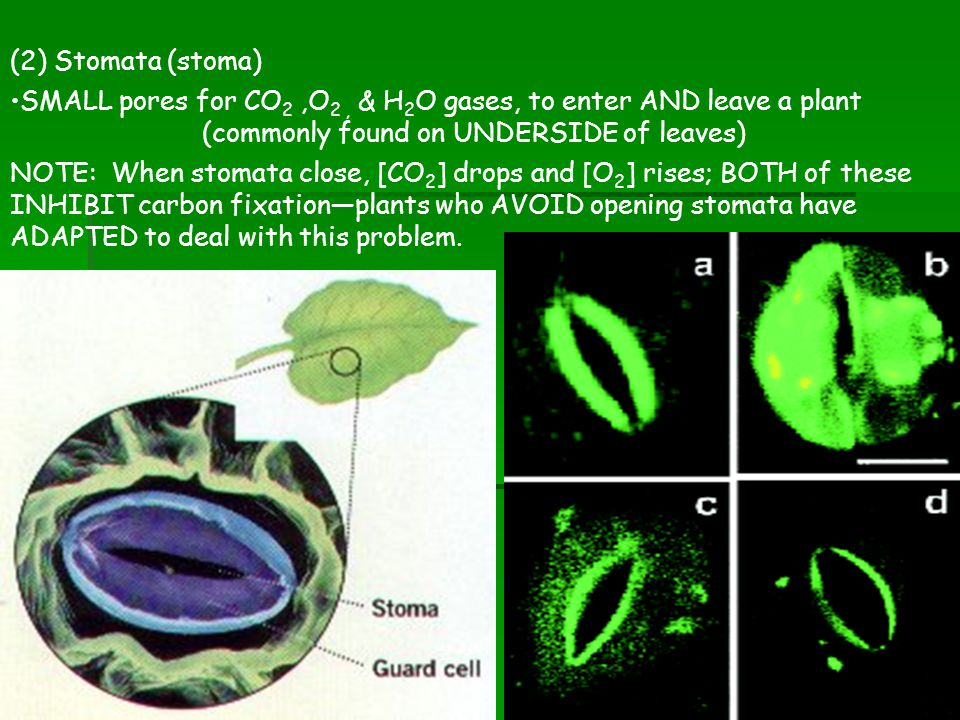 (2) Stomata (stoma) SMALL pores for CO2 ,O2 , & H2O gases, to enter AND leave a plant (commonly found on UNDERSIDE of leaves)