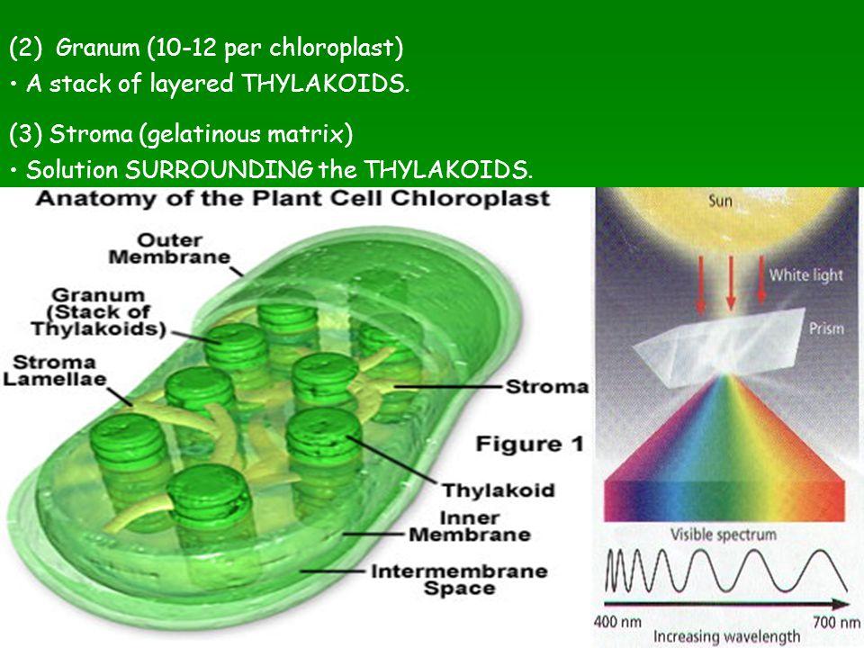 (2) Granum (10-12 per chloroplast)