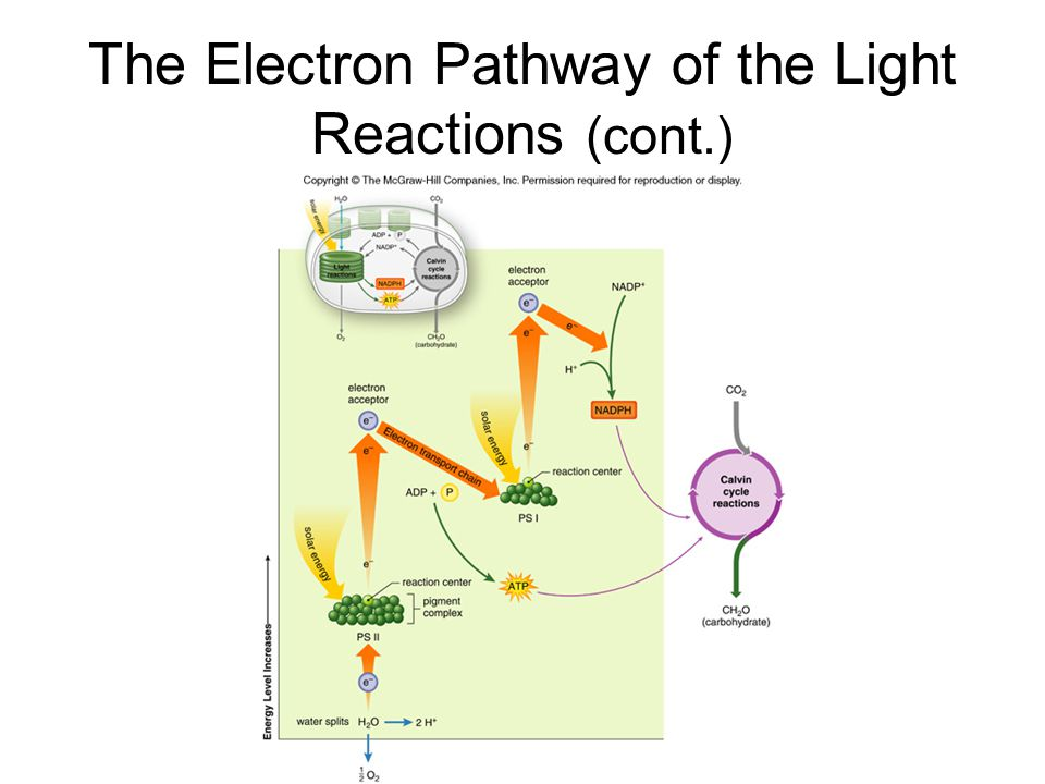 The Electron Pathway of the Light Reactions (cont.)