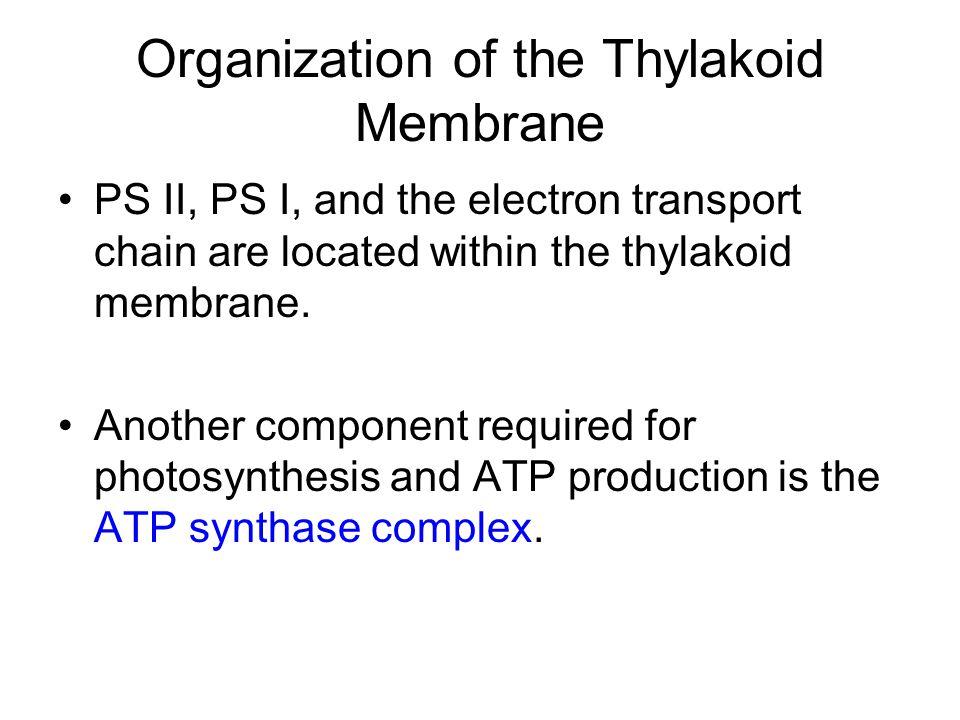 Organization of the Thylakoid Membrane
