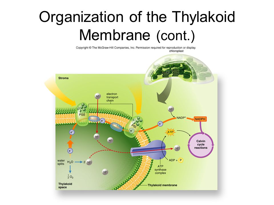 Organization of the Thylakoid Membrane (cont.)