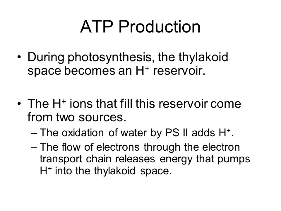 ATP Production During photosynthesis, the thylakoid space becomes an H+ reservoir. The H+ ions that fill this reservoir come from two sources.