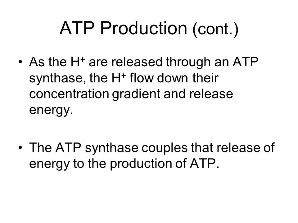 ATP Production (cont.) As the H+ are released through an ATP synthase, the H+ flow down their concentration gradient and release energy.