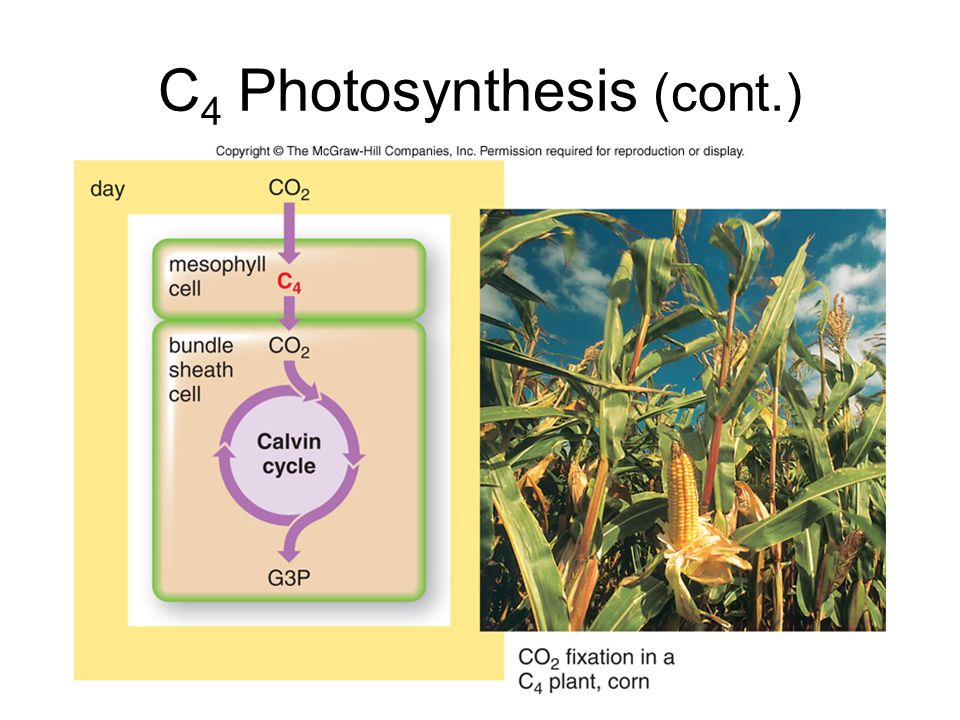 C4 Photosynthesis (cont.)