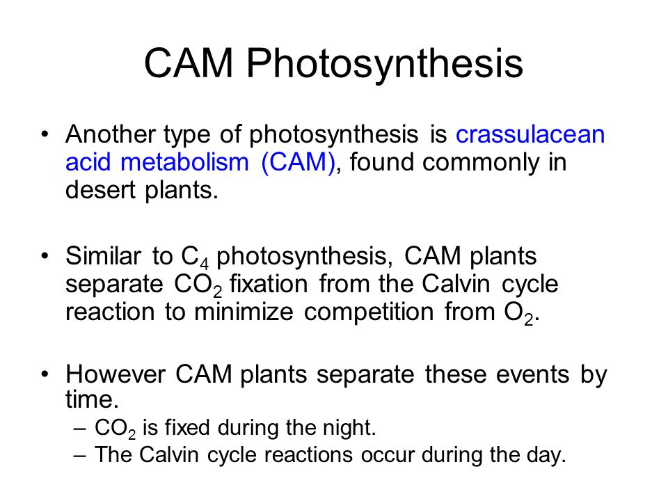 CAM Photosynthesis Another type of photosynthesis is crassulacean acid metabolism (CAM), found commonly in desert plants.