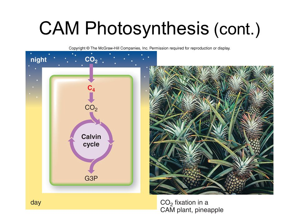 CAM Photosynthesis (cont.)