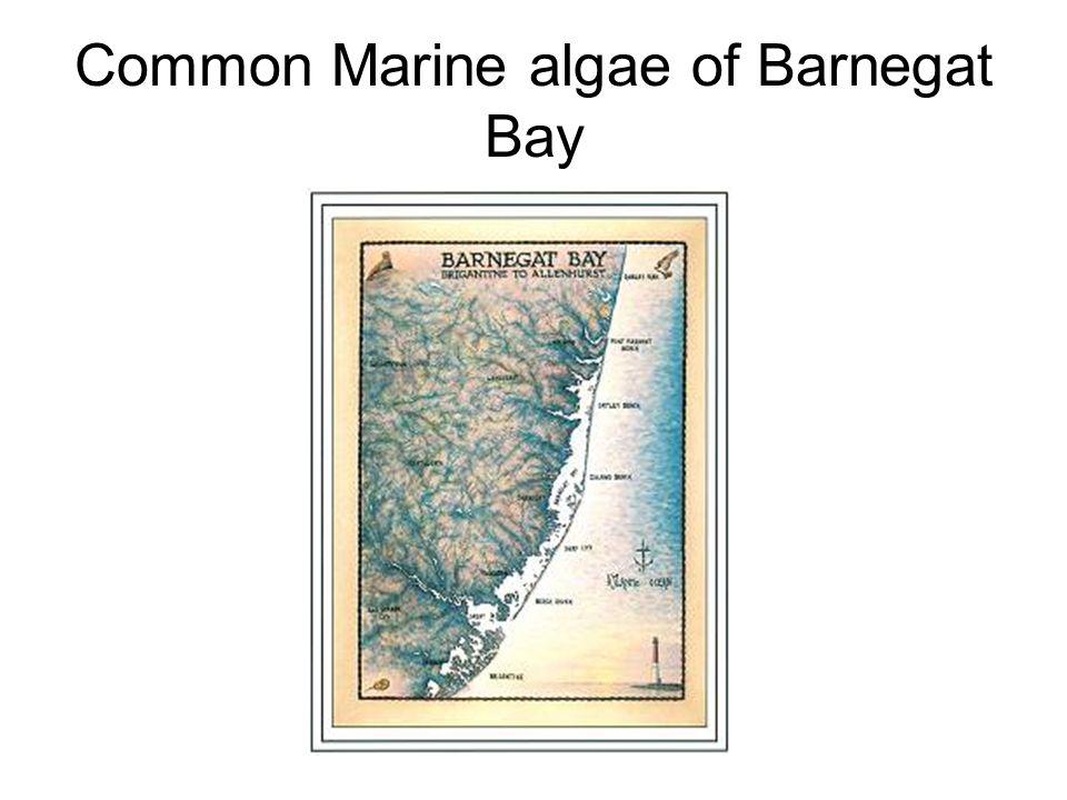 Common Marine algae of Barnegat Bay