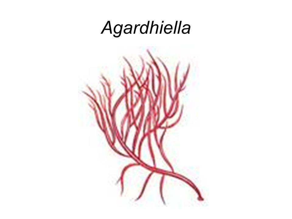 Agardhiella