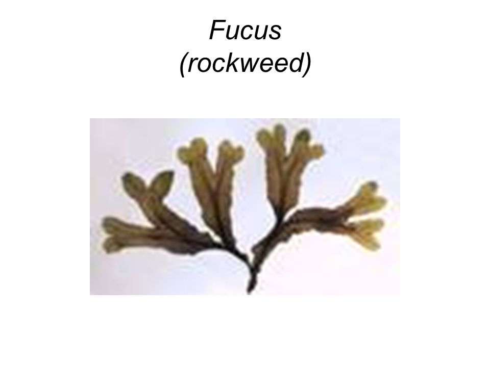 Fucus (rockweed)