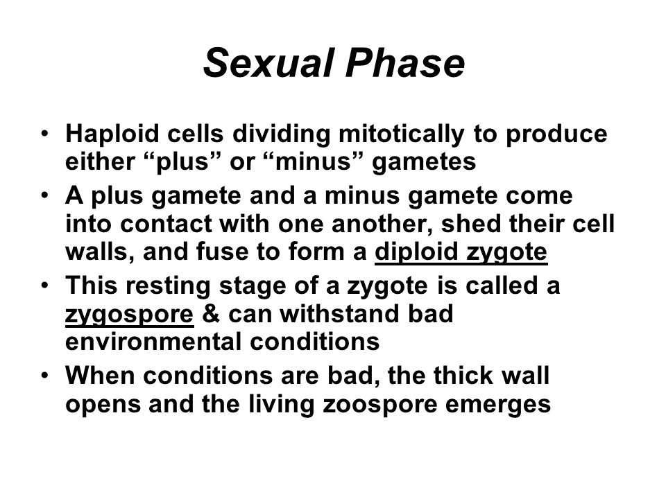 Sexual Phase Haploid cells dividing mitotically to produce either plus or minus gametes.