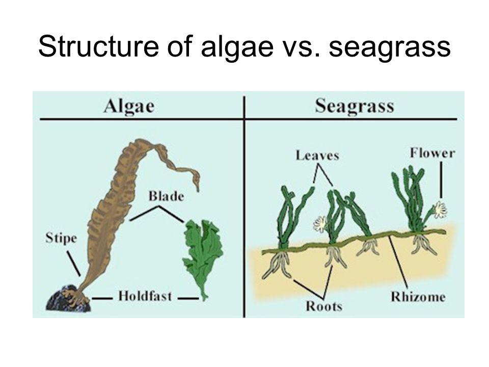 Structure of algae vs. seagrass