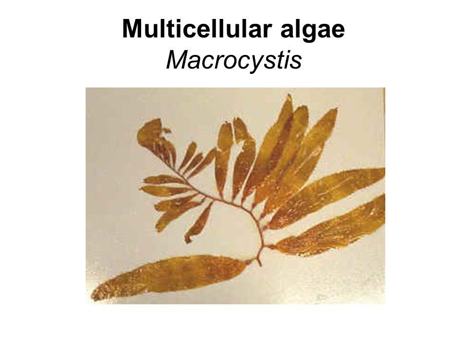 Multicellular algae Macrocystis
