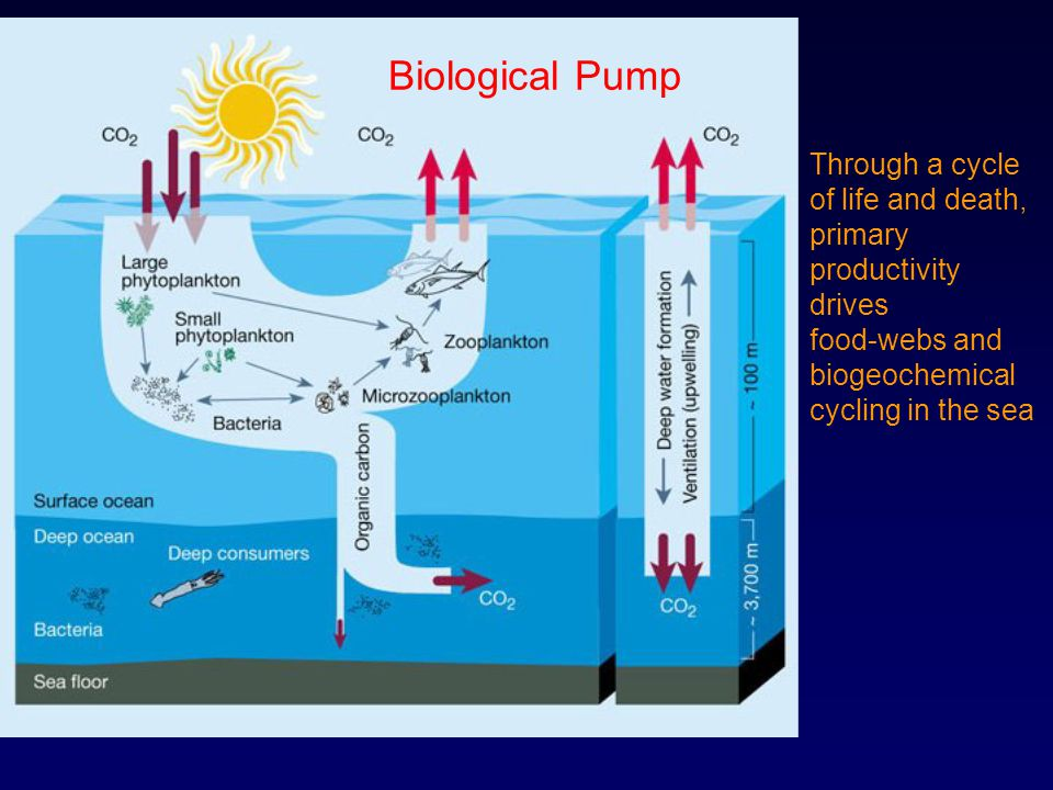 Biological Pump Through a cycle of life and death, primary productivity drives.