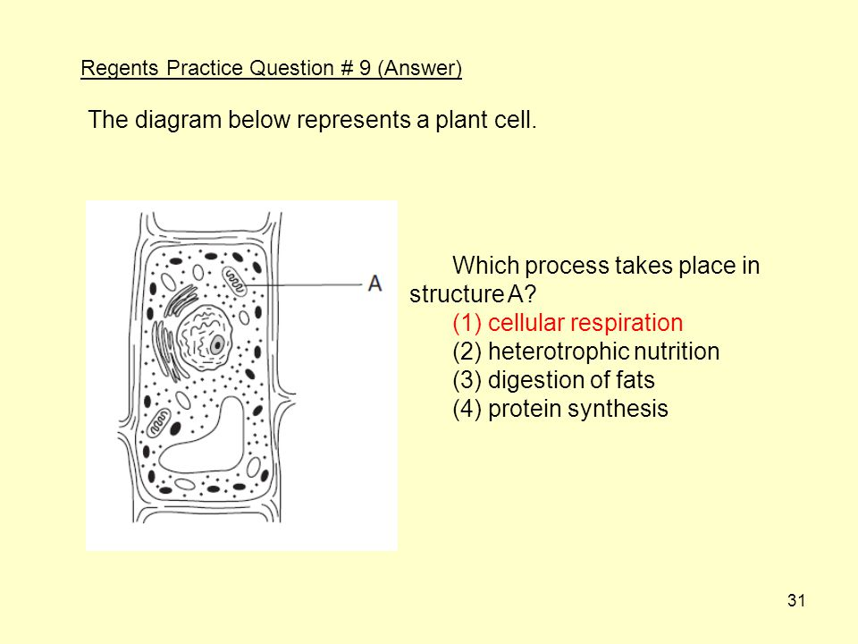 The diagram below represents a plant cell.