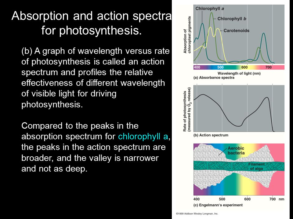 Absorption and action spectra for photosynthesis.