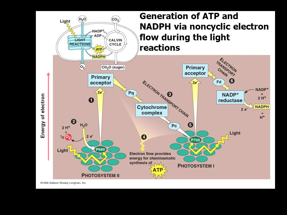 Generation of ATP and NADPH via noncyclic electron flow during the light reactions